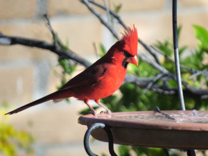 Bright red cardinal stares into a birdbath before diving in