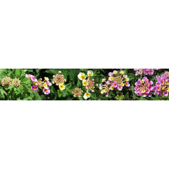 Lantana Flower Progression - Full View