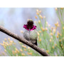 Iridescent Gorget Feathers fling from this Hummingbird's moving head.  One in a MILLION.