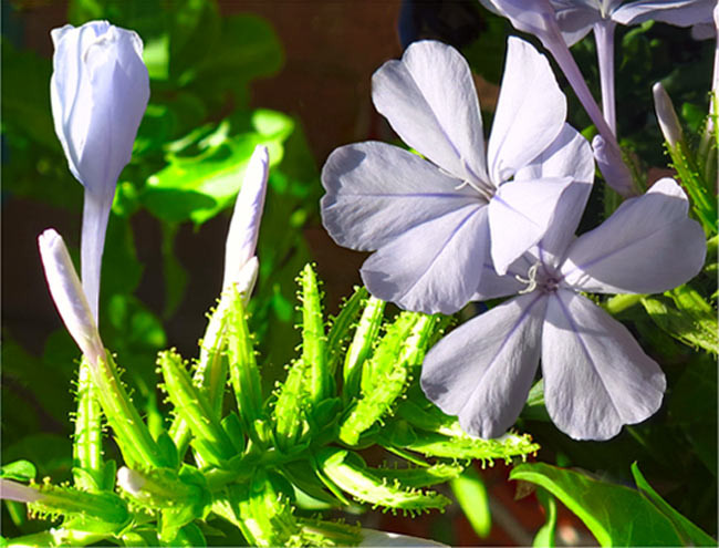 Plumbago flowers - bud in front of elegant soon to open bloom with full open flowers