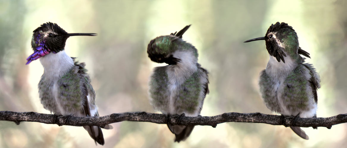 Costa hummingbird's head displayed in three positions during preening