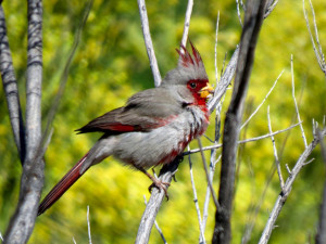 Pyrrhuloxia fluffed after bathing