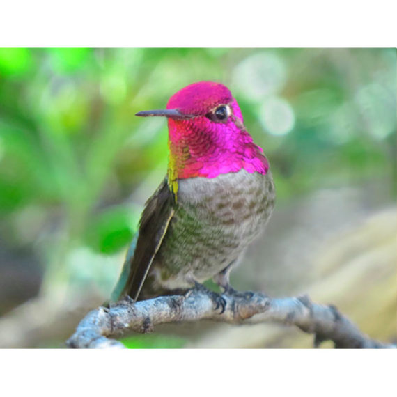 Anna Male Hummingbird with his brilliant rosy pink head looking at you - Print.