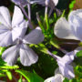 Follow the bud to full bloom of these wonderfully shaped Plumbago flowers.