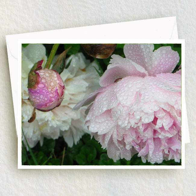 Peony flower and bud in the rain at Tizer Gardens near Helena
