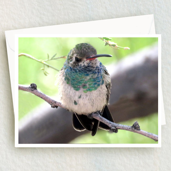 Broad-Billed juvenile hummingbird sits on a branch